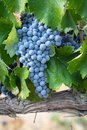 Colorful Lush, Ripe Wine Grapes on the Vine Ready for Harvest Royalty Free Stock Photo