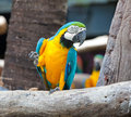 Colorful macaw Stock Image