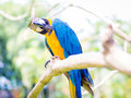 Colorful Macaw Bird Scratching Royalty Free Stock Photo