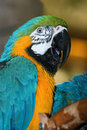 Colorful macaw parrots Royalty Free Stock Image