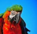 Colorful Macaw ruffled feathers Royalty Free Stock Images