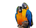 Colorful macaws displaying affection duo of their for each other isolated on a white background with copy space Stock Photos
