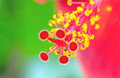 Colorful Macro pollen of red China Rose flower (Chinese hibiscus Royalty Free Stock Photo