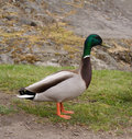 Colorful Male Duck Royalty Free Stock Photo