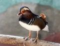 Colorful male mandarin duck Aix galericulata Royalty Free Stock Photo