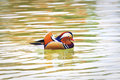 Colorful male winged teal duck swimming in wetland pond thailand Stock Image