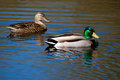 Colorful mallard swimming Royalty Free Stock Photography