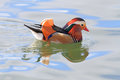 Colorful mandarin duck closeup of male swimming in river douro seeing reflection Stock Photography