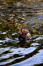 Colorful mandarin duck swimming water Stock Photos