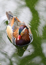The colorful mandarina duck swimming in the lake Royalty Free Stock Photo