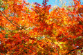 Colorful maple leaf background in autumn liaoning china Royalty Free Stock Image