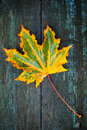 Colorful maple leaf on wet wooden surface lays dark macro photo Royalty Free Stock Images