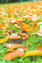 Colorful maple leave on the ground,lawn for background in the park. Royalty Free Stock Photo