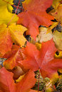 Colorful maple leaves background Stock Photography
