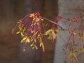 Colorful maple seed pods in spring a cascade of tree sprout from dormant tree branches Royalty Free Stock Photos