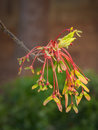 Colorful maple seed pods in spring a cascade of tree sprout from dormant tree branches Stock Photos