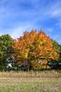 Colorful maple tree a with orange and yellow foliage in fall beside a stubble field in the vale of york england under a blue sky Royalty Free Stock Image