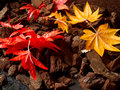 Colorful mapple leaves Royalty Free Stock Photo