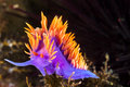 Colorful nudibranch a spanish shawl snail commonly found in the channel islands of california crawls on branching cnidarians in Stock Images