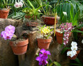Colorful orchids in flower pots bloom against a garden background Royalty Free Stock Images