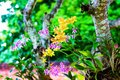 Colorful orchids yellow or purple dendrobium bloom hanging on tree  in nature garden outdoor background Royalty Free Stock Photo