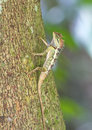 Colorful of Oriental Garden Lizard on branch Royalty Free Stock Photo