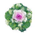 Colorful Ornamental Cabbage Stock Photography