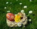 Colorful painted easter eggs on a basket and little chicken