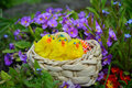 Colorful painted easter eggs on a basket and little chickens