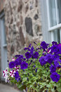 Colorful pansies in front of old wall Stock Photography