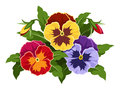 Colorful pansy flowers buds and green leaves isolated on a white background Stock Image