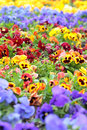 Colorful Pansy Flowers on Flower Bed Royalty Free Stock Photo