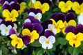 Colorful pansy Royalty Free Stock Photo