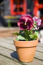 Colorful Pansy outdoor Stock Images