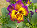 Colorful pansy viola tricolor blossom flowering close up flower of plant in garden bed Stock Photography