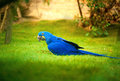 Colorful parrot blue on grass Stock Photography