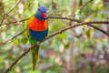 Colorful Parrot in Loro Park, Tenerife Royalty Free Stock Photo