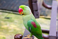 Colorful parrot perching on the chair Royalty Free Stock Image