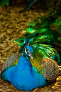 Colorful peacock resting shade tree hot day Royalty Free Stock Photography