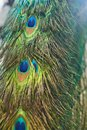 Colorful Peacock Tail Feathers...