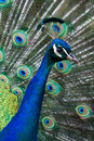 Colorful peacock a wild shows off it s plumage in melbourne victoria australia Stock Images