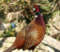 Colorful pheasant cock Stock Photos