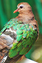 Colorful Pigeon Royalty Free Stock Photography