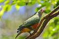 Colorful pigeon a perched on a tree trunch Royalty Free Stock Images