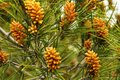 Colorful pine cones growing on a pine tree