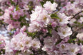 Colorful pink apple blossoms spring foliage Stock Photo
