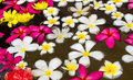 Colorful of plumeria flower floating on water Stock Image
