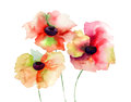 Colorful poppy flowers watercolor illustration Stock Photo