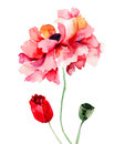 Colorful poppy flowers watercolor illustration Stock Photos