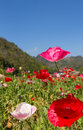 Colorful poppy on green field mountain background at chiang mai thailand Royalty Free Stock Photos